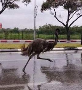 speeding emu