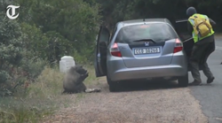 funny news, baboon steals pizza