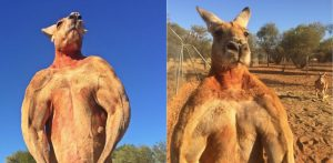 roger the ripped kangaroo